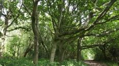 Kentish forest.